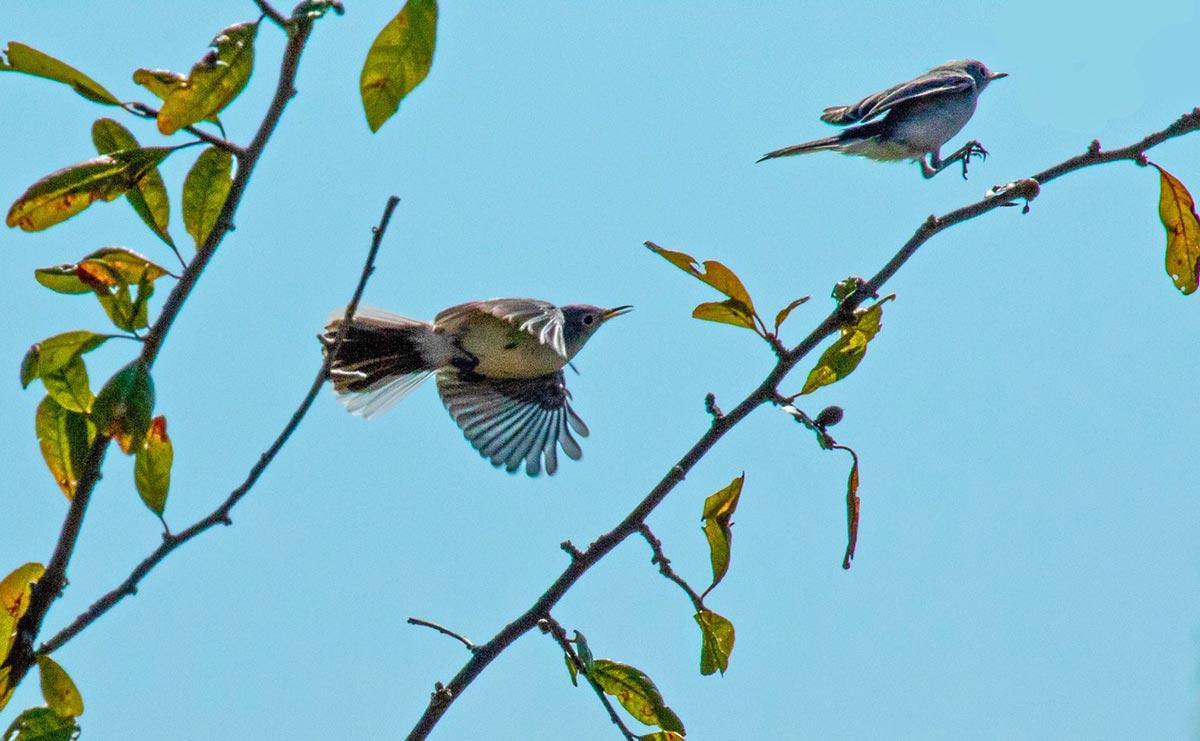 blue-gray-gnatcatcher
