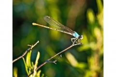 jariddamselfly