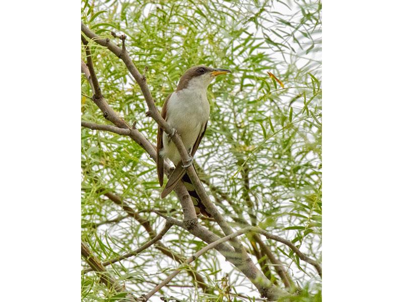 yellowbilled-cuckoo2