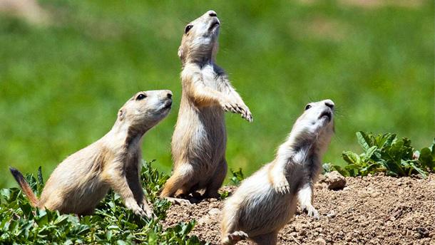 Prairie dogs – America's ultimate underdog